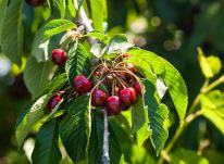 Fundão Sweet Cherry